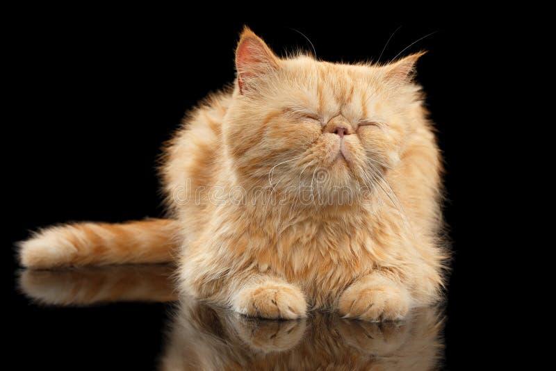 Tillfredsställd exotisk ljust rödbrun katt som ligger på den svarta spegeln royaltyfri bild