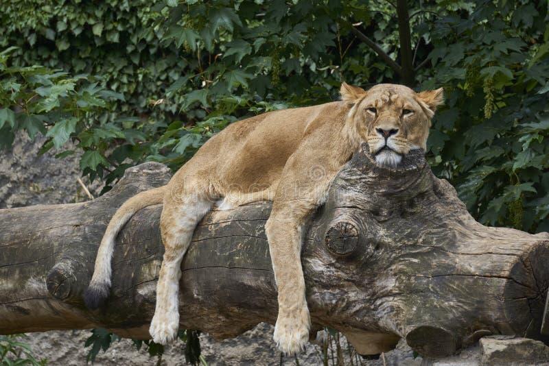 Tillfredsställd lejoninna som vilar på bekväm journal royaltyfri foto