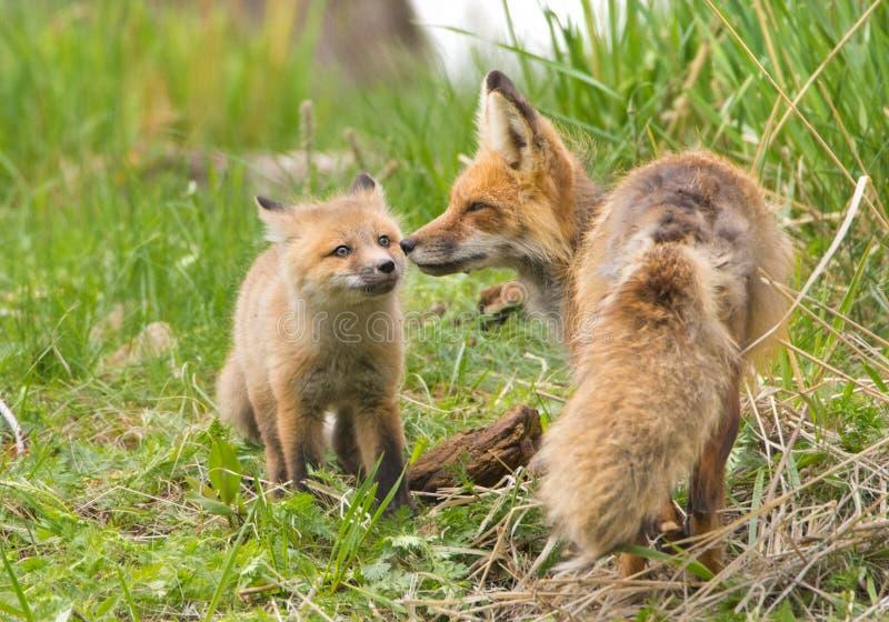 Tillgivna röda rävar. Yellowstone nationalpark arkivbilder