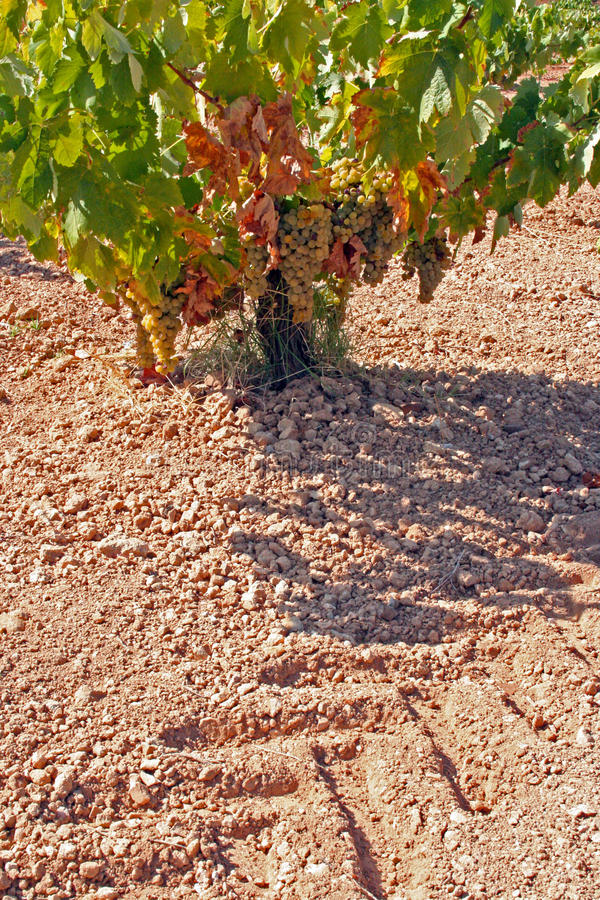Tilling vineyards. In Extremadura, Spain stock images