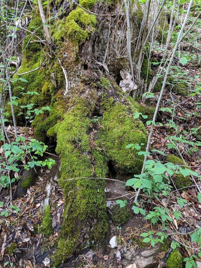 Tillväxt av gröna mossor arkivfoto