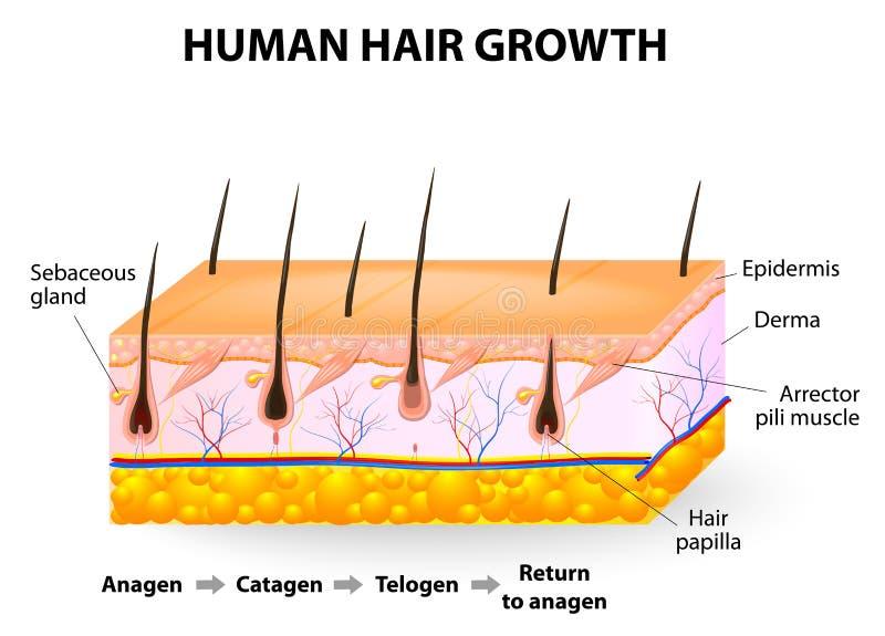 Tillväxt för mänskligt hår royaltyfri illustrationer