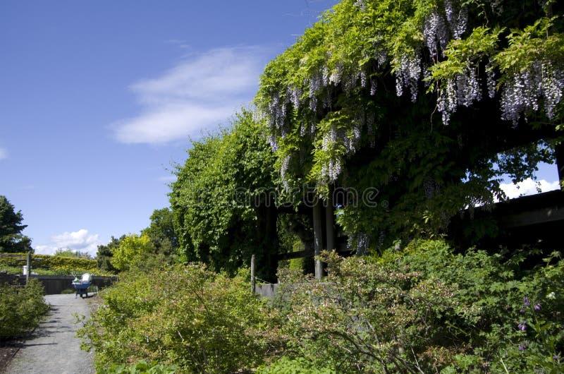 Tillväxt för Vancouver botanisk trädgårdvinranka arkivfoton