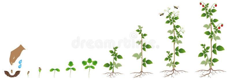 Tillväxtcirkuleringen av hallonet kärnar ur på en vit bakgrund stock illustrationer