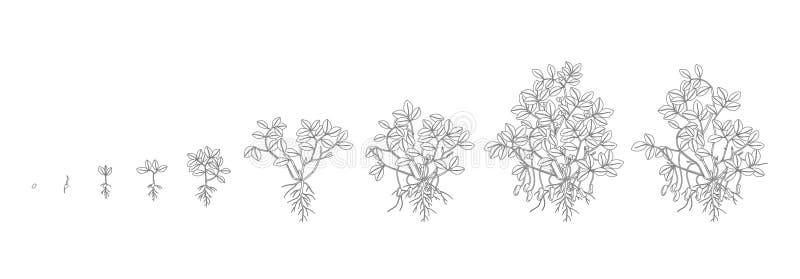 Tillväxtetapper av jordnötväxten Jordnötförhöjningfaser Illustration för översiktskonturvektor Arachishypogaea Livet royaltyfri illustrationer