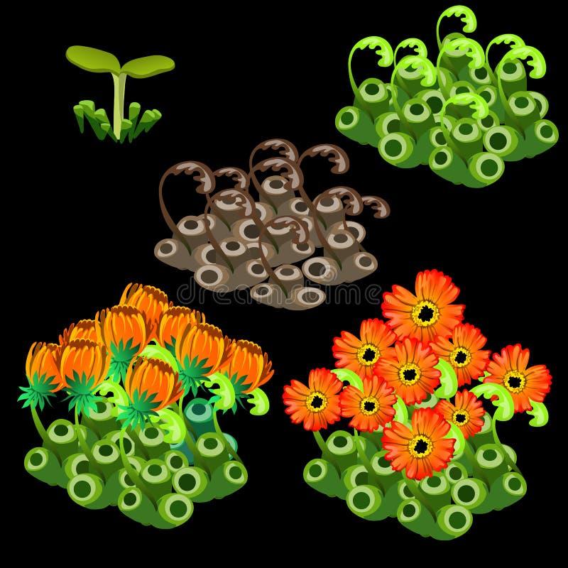 Tillväxtetapper av orange zinnias, fem objekt royaltyfri illustrationer
