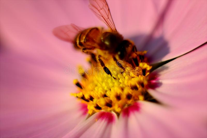 Tilt Photography of Brown Honey Bee on Pink Petaled Flower Pollen royalty free stock images