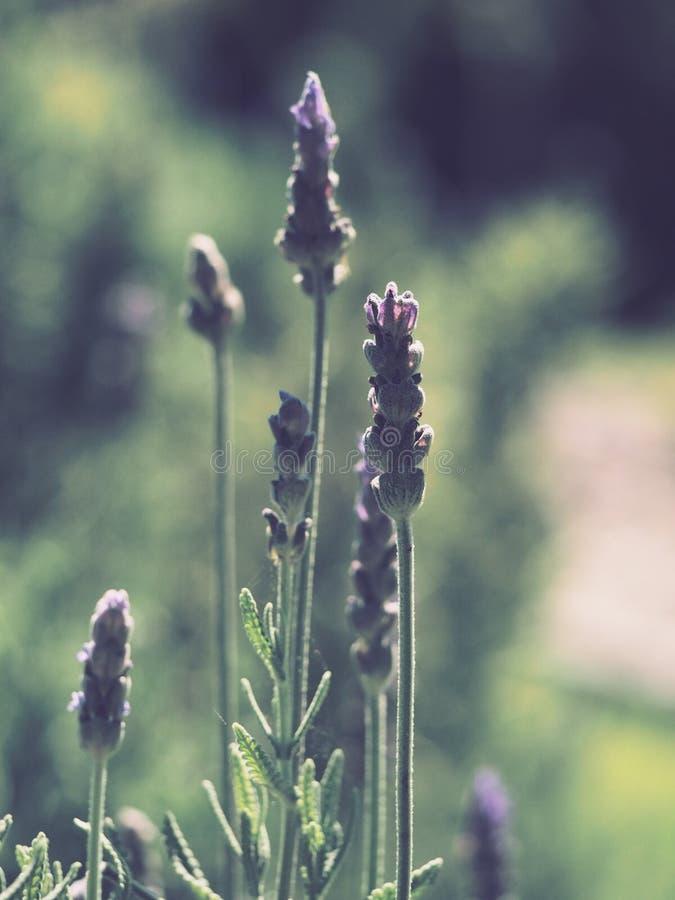 Tilt Shift Photography of Lavender stock images