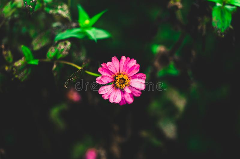 Tilt Shift Photography of Pink Zinnia Flower royalty free stock images