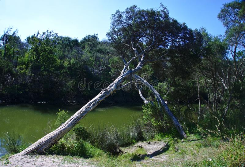 Tilted tree by creek. With green water on sunny day stock image
