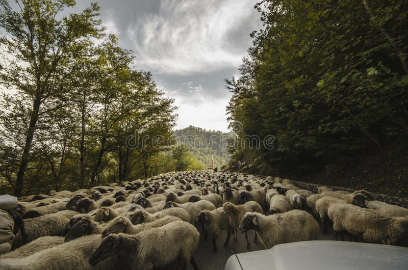 Tilted view of sheared sheep on rural road with a car trying to pass. One sheep is looking at the camera. Azerbaijan Masalli stock photography
