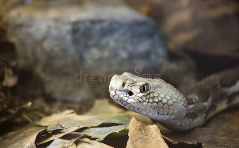 Timber Rattlesnake Royalty Free Stock Image