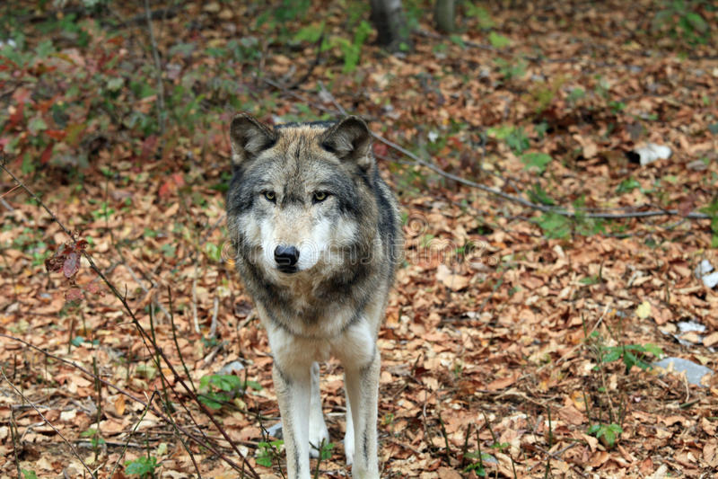 Download Timber wolf stock image. Image of grey, creature, image - 21777981