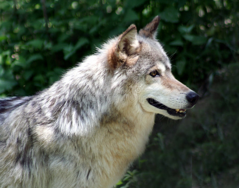 Timber Wolf. Grey Timber Wolf Looking Serious royalty free stock photography