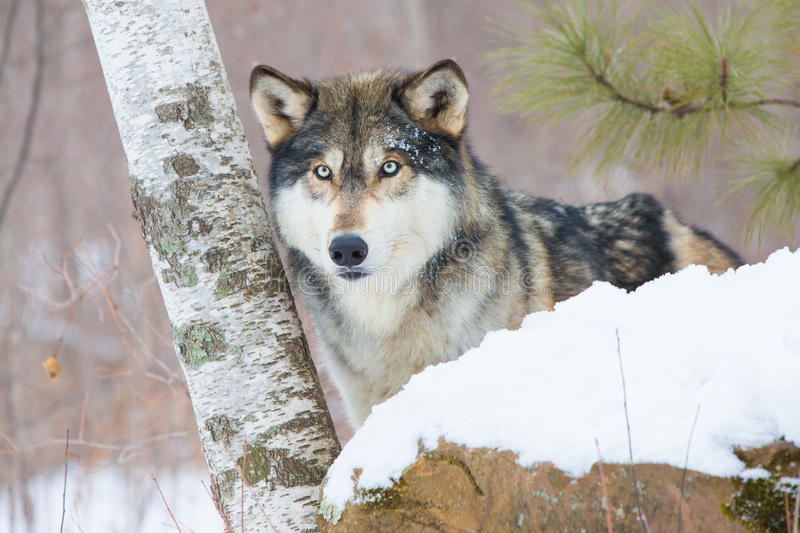 Timber wolf in aspen tress. In snow stock images
