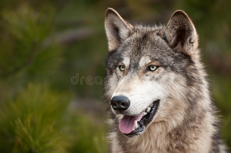 Timber Wolf (Canis lupus) royalty free stock photos