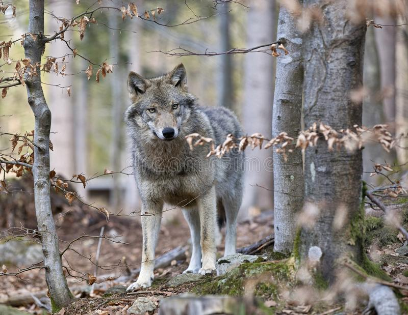 Timber Wolf (Canis lupus)