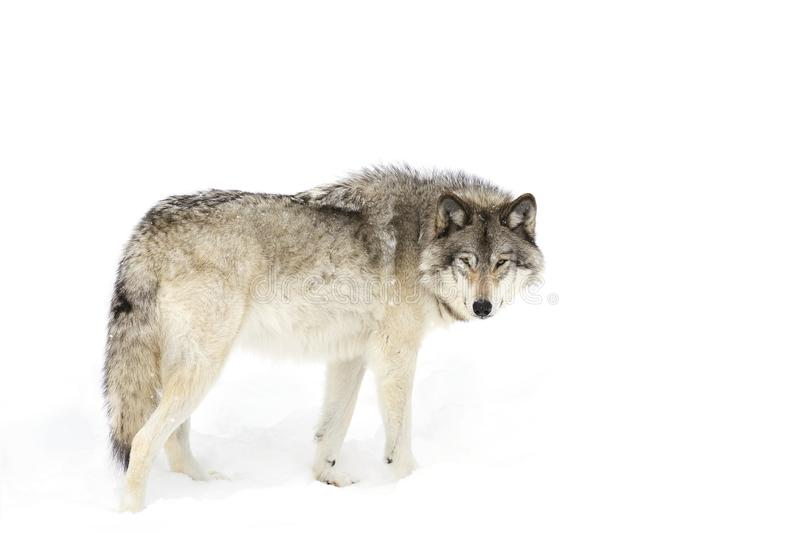 A Timber wolf Canis lupus isolated on white background standing in the winter snow in Canada. Timber wolf Canis lupus isolated on white background standing in stock image