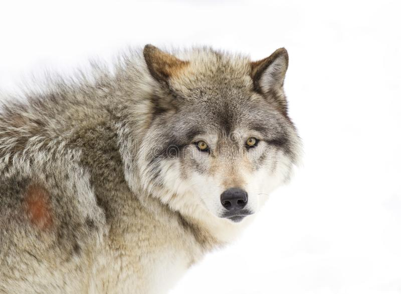 A lone Timber wolf or grey wolf (Canis lupus) isolated against a white background walking in the winter snow in Canada stock photography