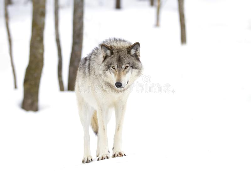 A lone Timber wolf or grey wolf (Canis lupus) isolated against a white background walking in the winter snow in Canada royalty free stock photo