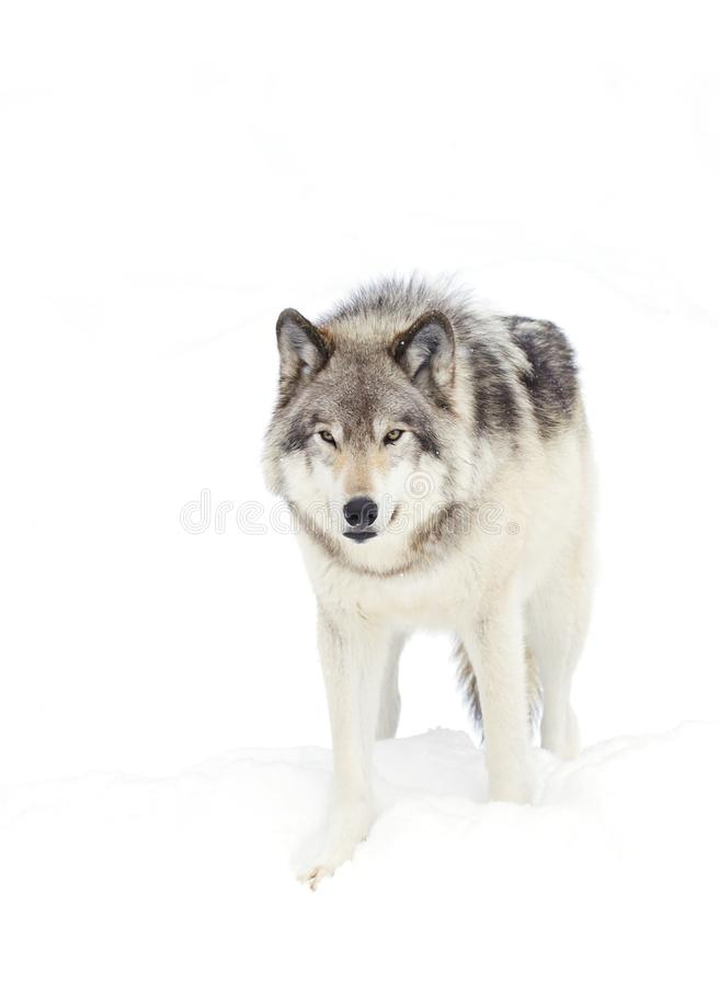 A lone Timber wolf or Grey Wolf (Canis lupus) isolated on white background walking in the winter snow in Canada royalty free stock photos