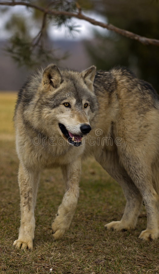 Timber Wolf (Canis lupus) Under Tree Branch stock photo
