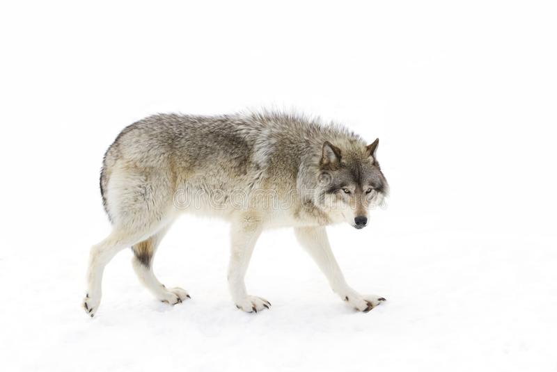 A lone Timber wolf or Grey Wolf (Canis lupus) isolated on white background walking in the winter snow in Canada. A lone Timber wolf or grey wolf ( stock images