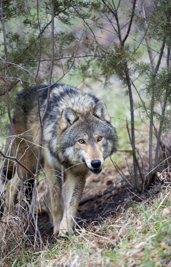 Timber Wolf Creeps. Timber Wolf (Canis lupus) creeps through brush - captive animal royalty free stock photography