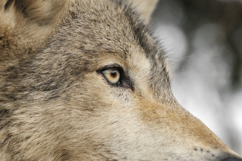 Timber Wolf Eye. Timber Wolf (Canis lupus) Eye - captive animal - close up of Timber Wolf eye/head stock photos