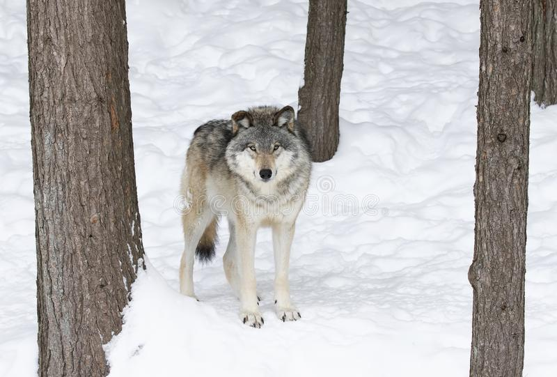 A lone Timber wolf or Grey wolf Canis lupus isolated on white background standing in the winter snow in Canada. Timber wolf or Grey Wolf Canis lupus isolated on stock image