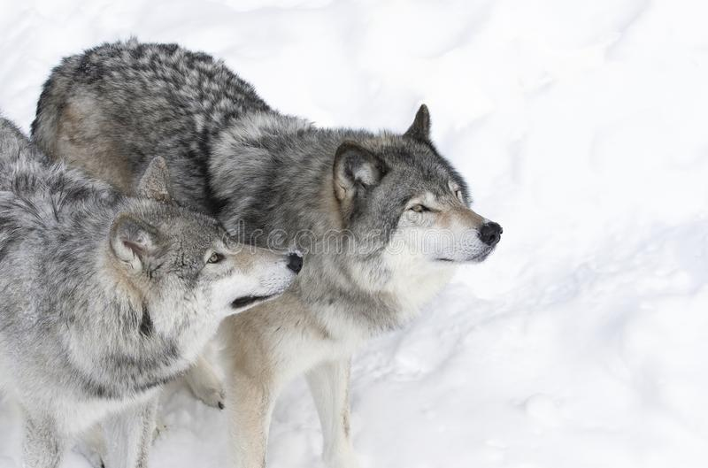 Timber wolves or Grey wolf Canis lupus isolated on white background standing in the winter snow in Canada. Timber wolf or Grey wolves Canis lupus isolated on royalty free stock image