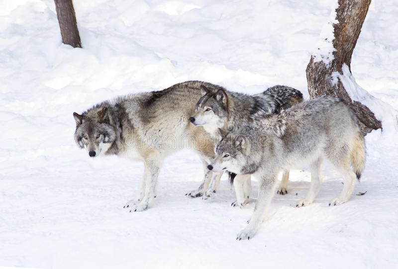 Some Timber wolves or Grey Wolves (Canis lupus) isolated on white background walking in the winter snow in Canada stock photo