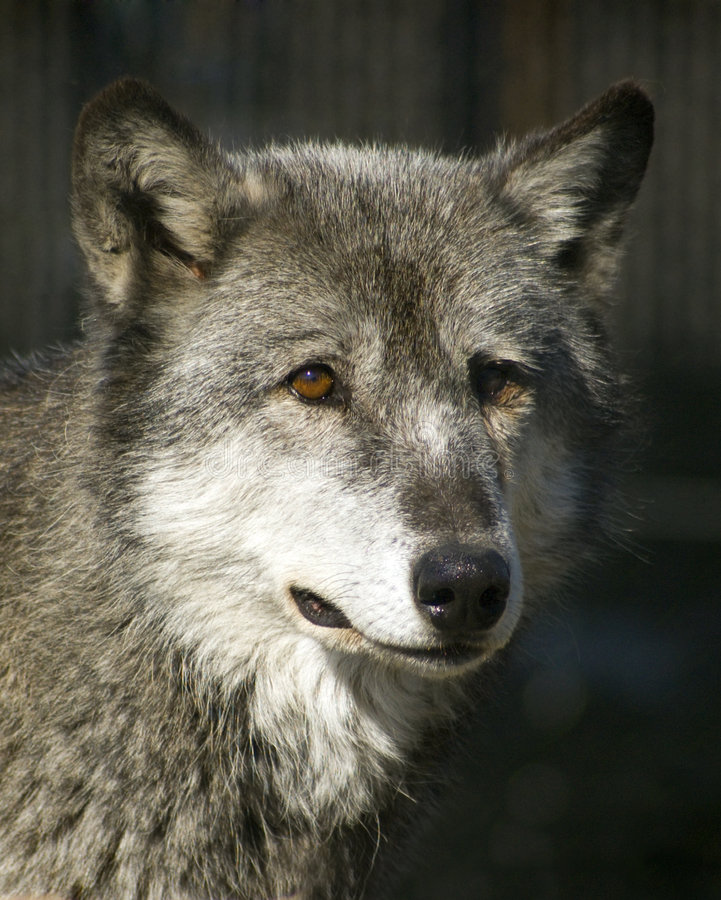Download Timber Wolf Portrait stock photo. Image of mammal, captive - 470216