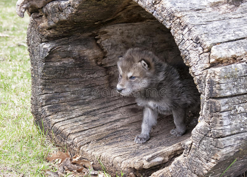 Timber wolf pup stock image