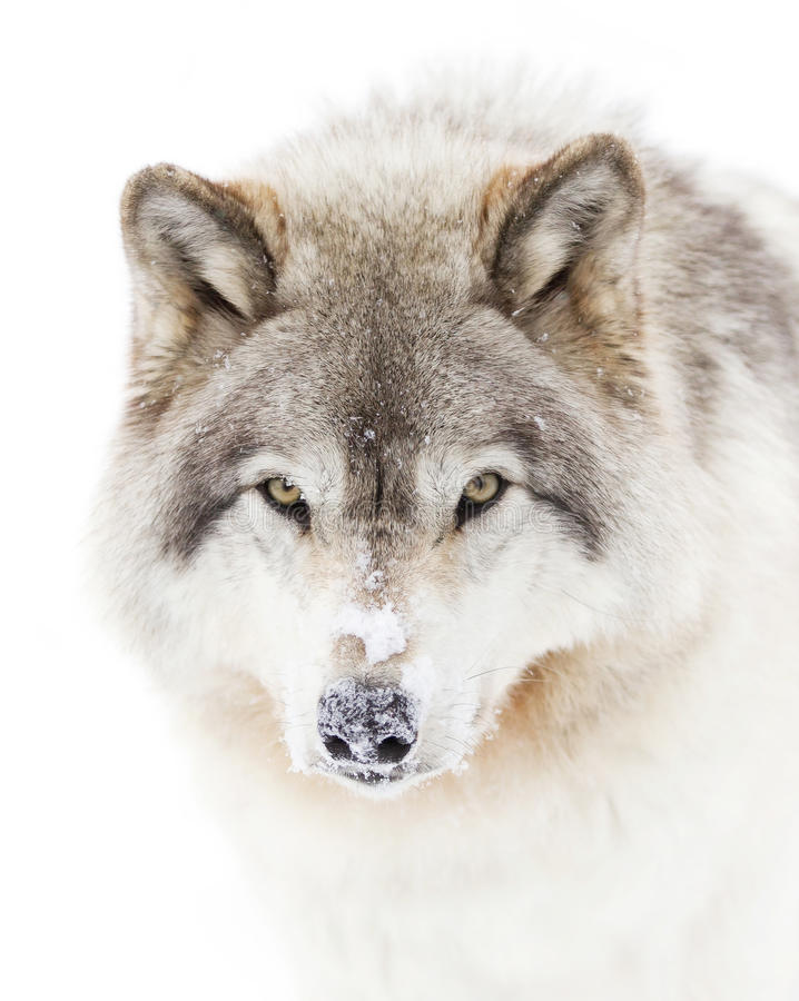 A lone Timber wolf or grey wolf (Canis lupus) isolated against a white background walking in the winter snow in Canada royalty free stock images
