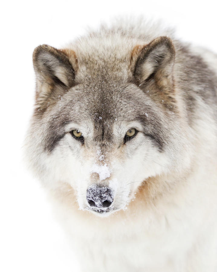 A lone Timber wolf or grey wolf (Canis lupus) isolated against a white background walking in the winter snow in Canada royalty free stock image