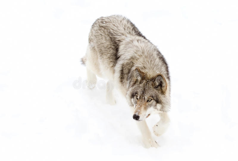 A lone Timber wolf or grey wolf (Canis lupus) walking in the snow in Canada. Timber wolf or grey wolf (Canis lupus) walking in the snow in royalty free stock photo