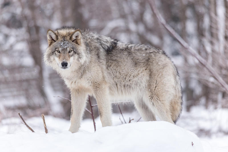 Timber wolf in a winter forest stock photo