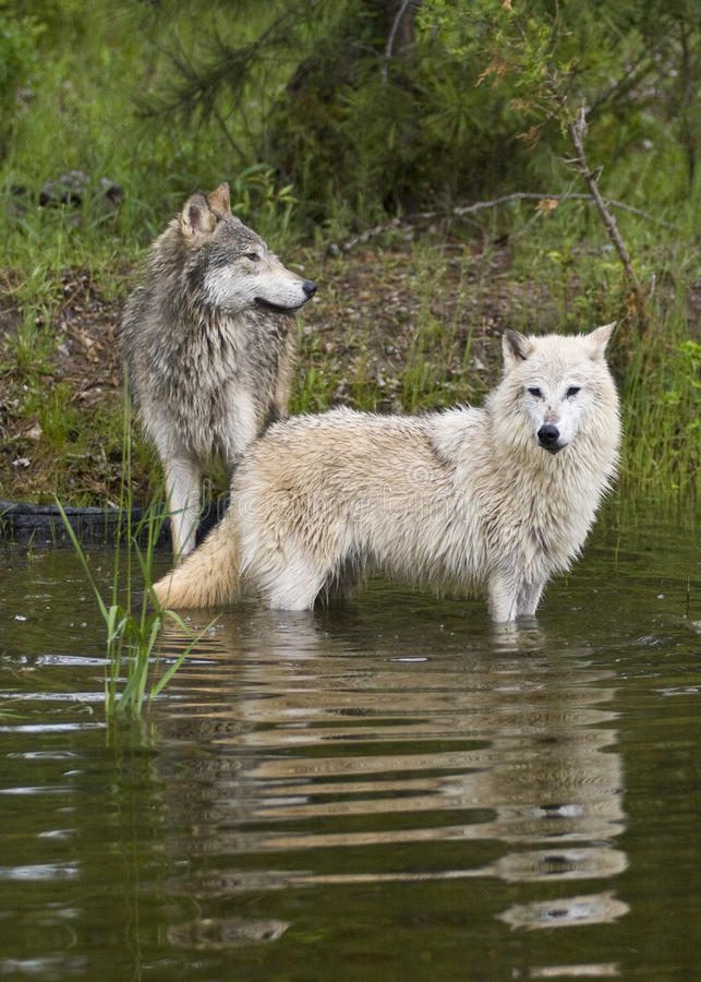 Pair of timber wolves at lake with reflection stock photography