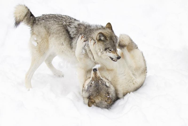 Some Timber wolves or Grey Wolves (Canis lupus) isolated on white background playing in the winter snow in Canada royalty free stock photos