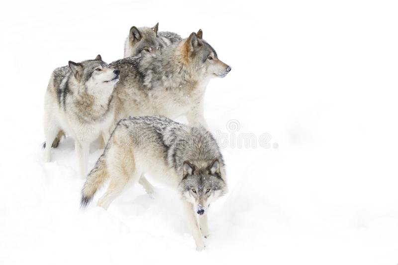 Some Timber wolves Canis lupus playing in the winter snow royalty free stock photo