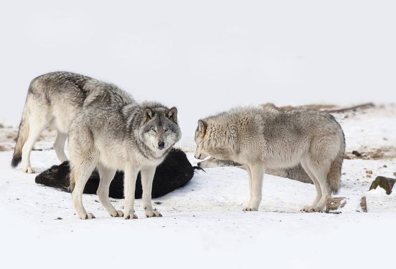 Some Timber wolves or Grey wolves Canis lupus feeding on wild boar carcass in Canada stock images