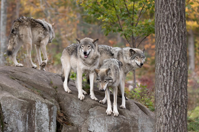 Some Timber wolves or Grey Wolves (Canis lupus) on top of a rock on an autumn day in Canada stock photos
