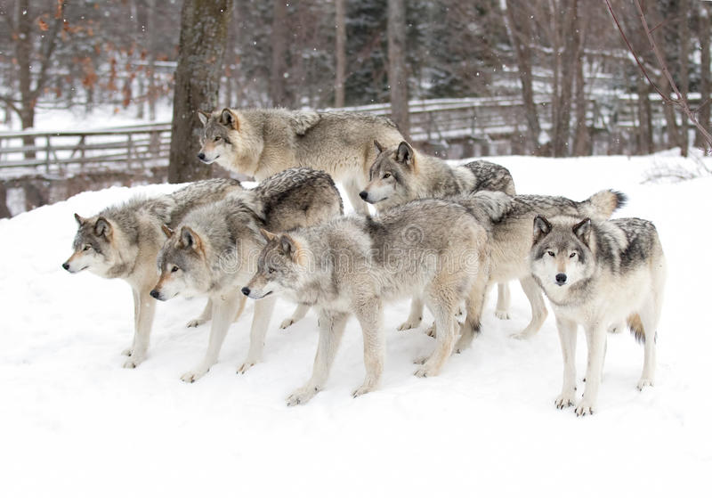 Some Timber wolves or Grey Wolves (Canis lupus) waiting to be fed in winter in Canada stock photos