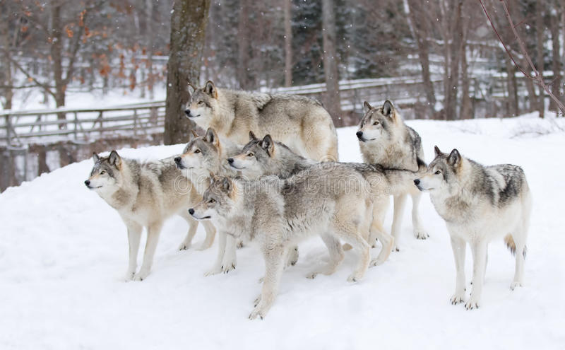 Some Timber wolves or Grey Wolves (Canis lupus) waiting to be fed in winter in Canada royalty free stock photos