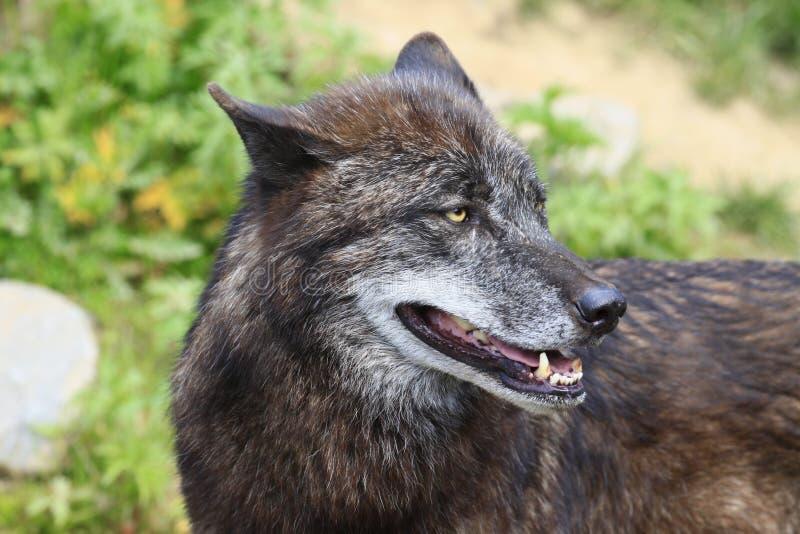 Timberwolf imagem de stock