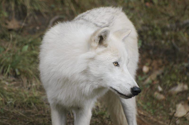 Timberwolf stockbild