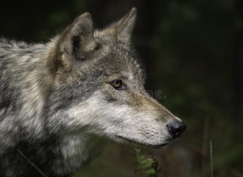 Timberwolf alias Gray Wolf oder Grey Wolf Portrait stockbild