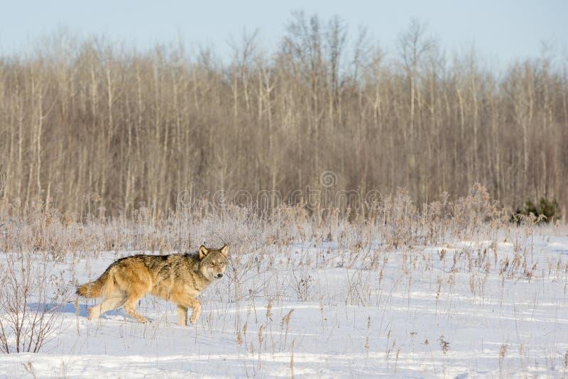 Timberwolf auf Prowl für Opfer lizenzfreie stockfotos