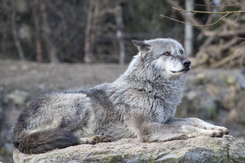 Timberwolf s'étendant au soleil photo stock